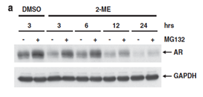 Time course of androgen receptor (AR) degradation induced by addition of 2-methoxyestradiol (2-ME) and inhibited by MG-132 to show dependence on proteosomal activity. Western blot of AR, and GAPDH as loading control.