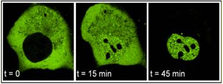 Fig. 1. Nuclear import of the androgen receptor (AR) is induced by androgen. Cos7 cells expressing AR fused to green fluorescent protein (GFP-AR) were treated with synthetic androgen (R1881, 1 nM) and monitored by real-time confocal microscopy. GFP-AR is excluded from the nucleus prior to androgen addition (t=0 min), is readily visible in the nucleus soon after androgen addition (t=15 min).