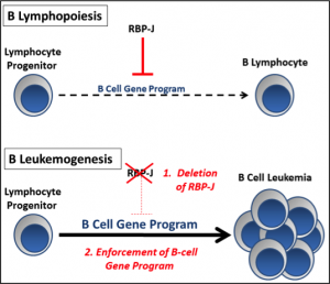 Defining a Tumor Suppressor Role of RBP-J in B Cell Progenitors