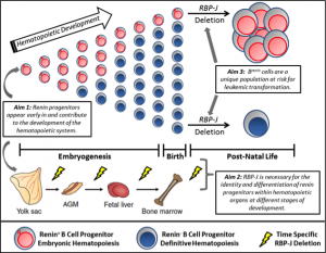 Role of Renin Progenitors in Hematopoiesis