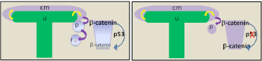Wnt/β-catenin gradient is required for the progression of nephrogenesis. Current model dictates Wnt/β-catenin activity emanating from the UB (yellow arrow) is required to induce nephrogenesis, but must be down-regulated for MET to occur (left panel). In p53-/- metanephroi, sustained β-catenin levels result in developmental arrest (right panel). Cm, cap mesenchyme which are Nephron Progenitor Cells; u, ureteric epithelia; p, pretubular aggregate; r, renal vesicle.