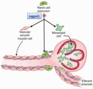 Jagged1 and Kidney Vascular Development