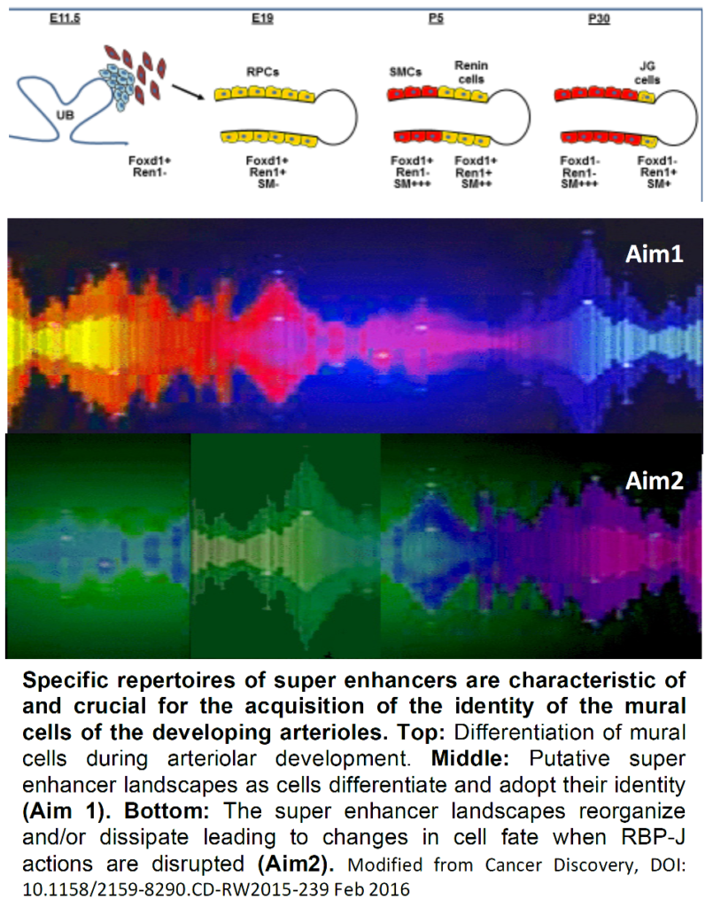 Diagram showing specific repertoires of super enhancers, characteristic of and crucial for the acquisition of the identity of the mural cells of the developing arterioles
