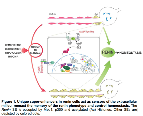 Diagram showing Unique super-enhancers in renin cells acting as sensors of the extra celluar milieu, re-enacting the memory of the main renin phenotype and control homeostasis