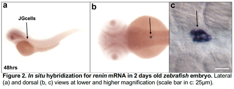 Diagram showing in situ hybridization for renin mRNA in two days old zebrafish embryo